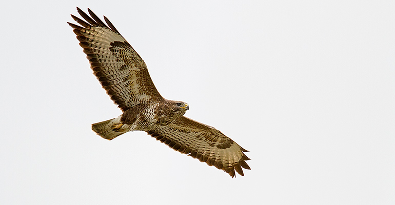 Buzzard, April 2013 / © Matthew Webster