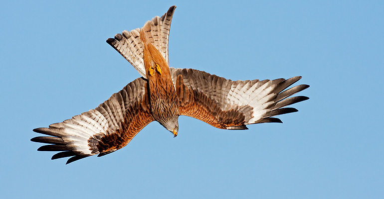 Red Kite, January 2009 / © Matthew Webster