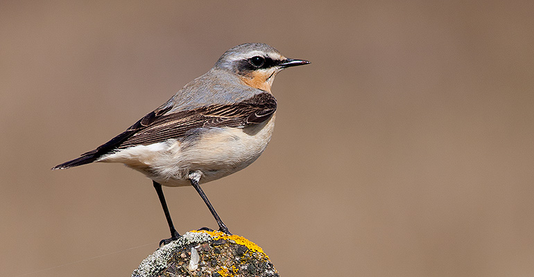 Wheatear, May 2010 / © Matthew Webster